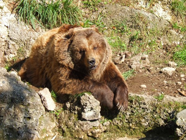 brown bear: shot taken in salzburg zoo