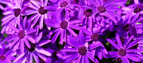 happy purple!: purple daisies