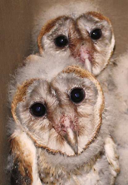 Barn Owl brood: no description