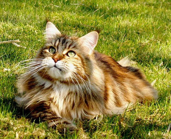 Maine Coon 3: Main Coon cats. The golden is a male.