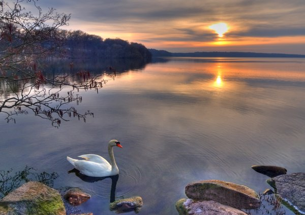 Swan in Sunset - HDR: The picture is HDR using three images