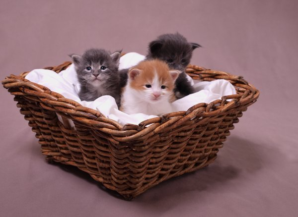 Maince Coons: 3 weeks old Maine Coons kittens in a basket