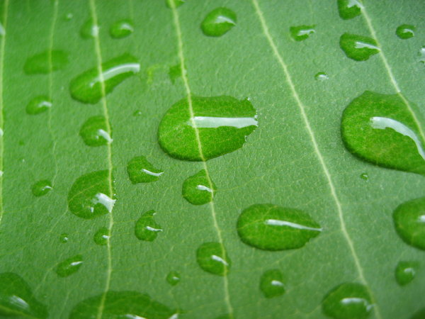 leaf droplets 1: ...