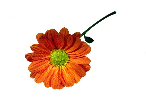 Orange daisy: Daisies bunch