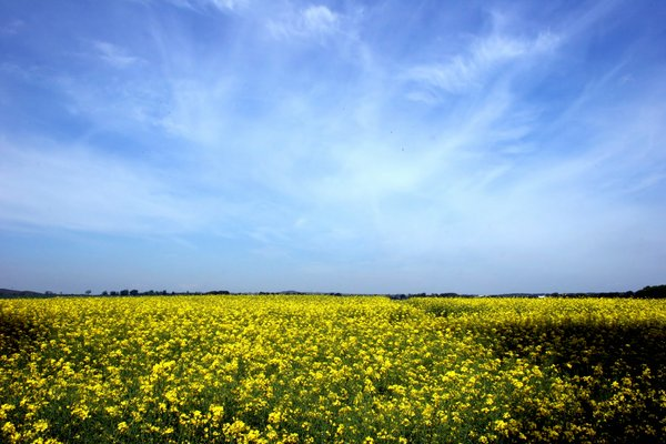 Field of Rapeseed: http://www.scottliddell.n ..