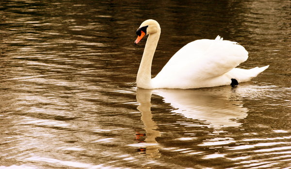 Reflected Swan: Reflected Swan on water