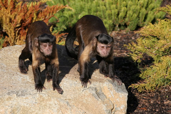 Capuchin Monkeys: Two capuchin monkeys