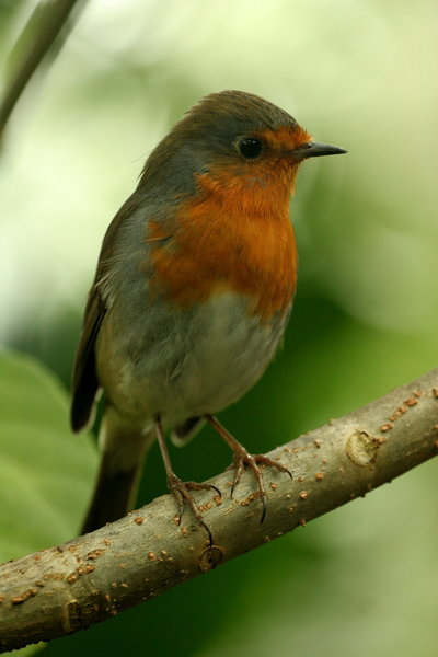 Robin 2: Robin inside greenhouse