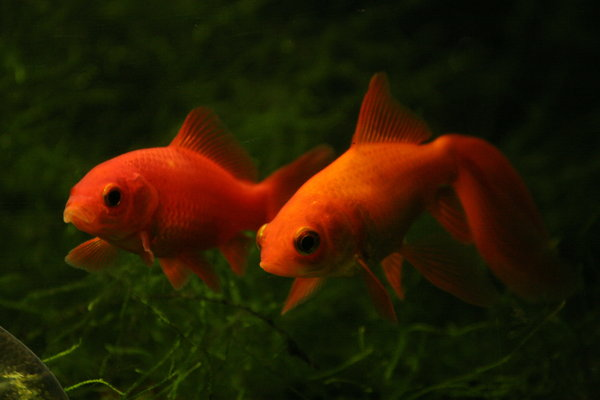 Two Goldfish: Two Goldfish in a murky tank