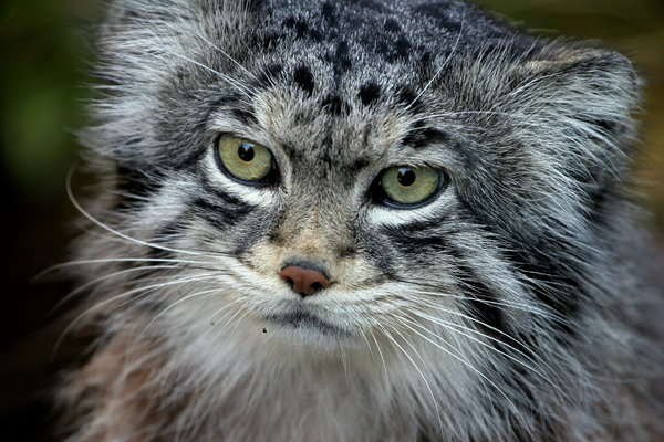 Pallas Cat: Close-up of Pallas Cat in Edinburgh Zoo