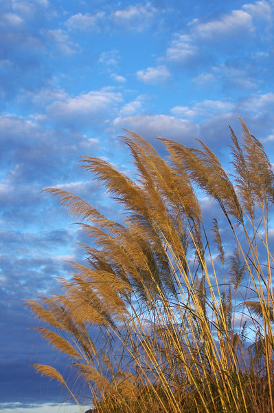 grasses in the wind: Beach side grasses blowing in the wind against the blue sky