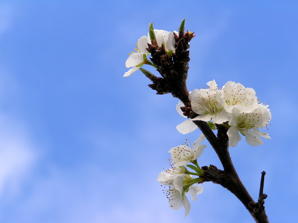 plum tree blossom in spring: Plum tree blossom in spring