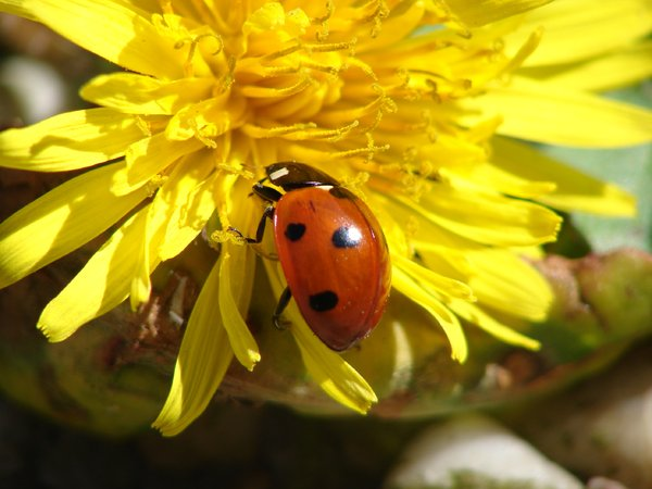 ladybird: ladybird on a yellow flower