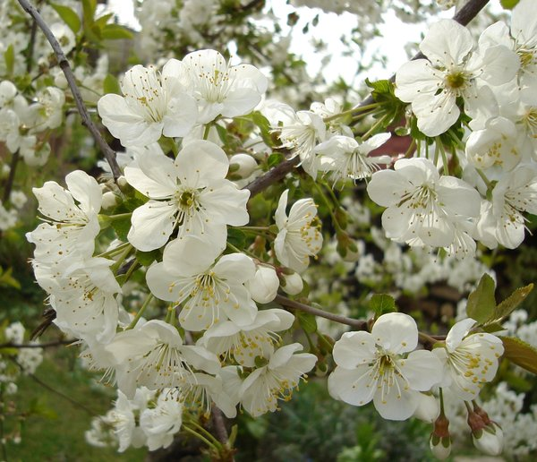 flowering spring: Blossoms of spring