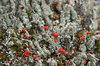 Red capped lichens