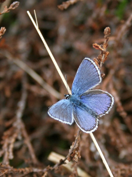 Blue butterfly: A blue butterfly (Lycaenidae) in spring in Norway.