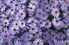 Michaelmas daisies