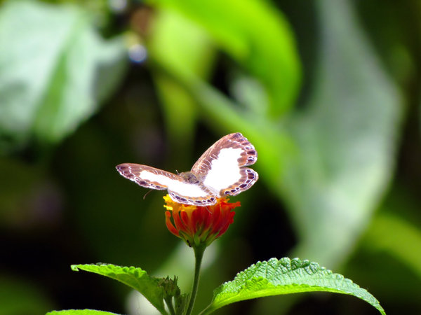 TriniFlutterby: Caught this critter doing what they do best: teasing me into taking their pictures.Trinidad butterfly