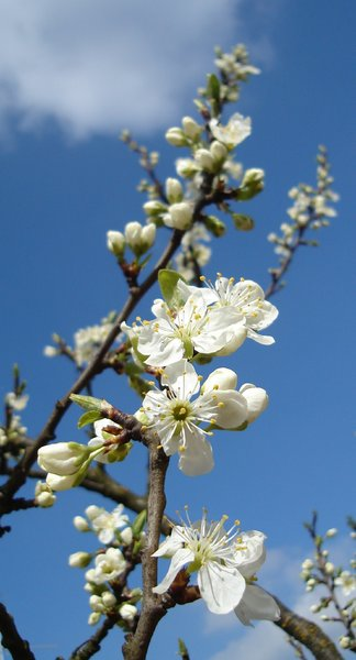 Spring: flowering plum tree