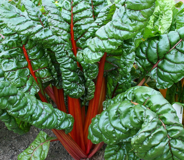 Chard: Swiss chard growing in a vegetable garden in Wales.