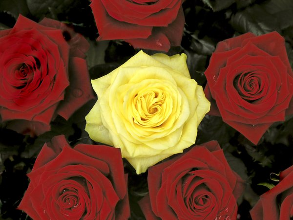 Yellow and red roses: Bunch of roses