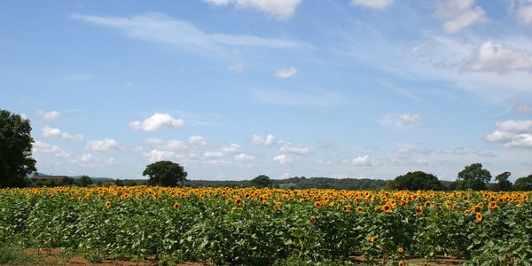 Sunflower crop: A field of sunflowers growing in West Sussex, England, in summer.