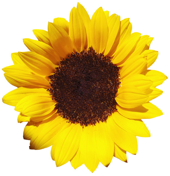 > Sunflower: GirassolSunflower