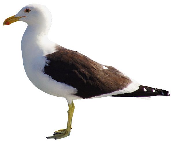> Seagull: Gaivota no Ostradamus, Florianópolis, Ribeirão da Ilha em Santa Catarina, BrasilSeagull in the Ostradamus, Florianópolis, Ribeirão da Ilha in Santa Catarina, BrazilIt's free, however will be possible credits the photo.by Marcelo TerrazaFoto livre, por