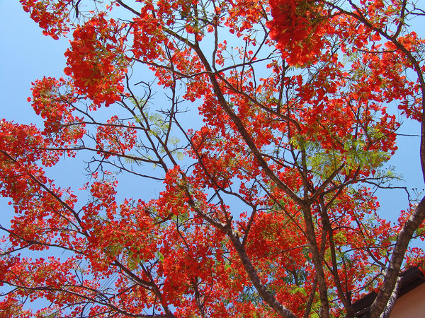 > Flamboyant 1: Flamboyant Tree > Chapada dos Veadeiros na Casa das Flores, Goiás, BrasilFlamboyant Tree> Chapada dos Veadeiros in the House of Flowers, Goias, BrazilIt's free, however will be possible credits the photo.by Marcelo TerrazaFoto livre, porém se for possí