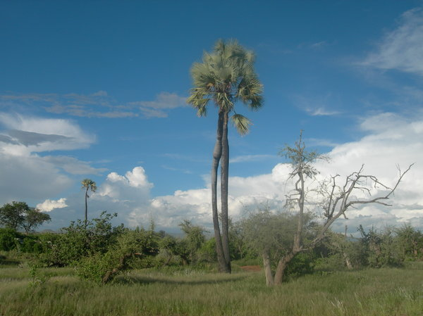 palm tree 1: Palmwage, Namibia