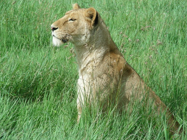 lioness 2: photo taken in Tanzania