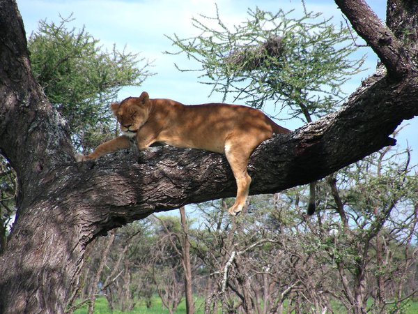 sleepy lioness 1: photo taken in Tanzania