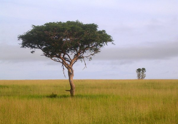 lonely tree: photo taken in Uganda