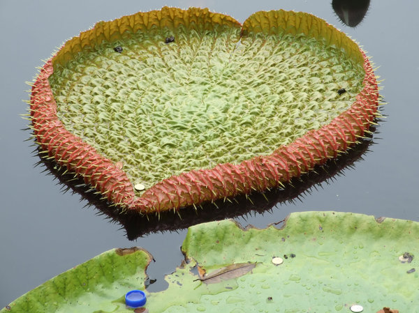 floating 'green plates': large floating water lilly leaves some with coins