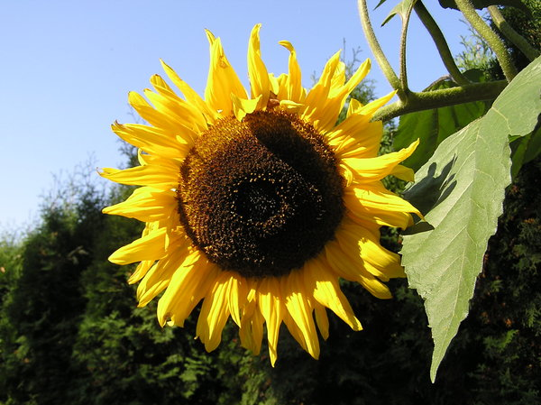 Sunflower: Sunflower in the field.
