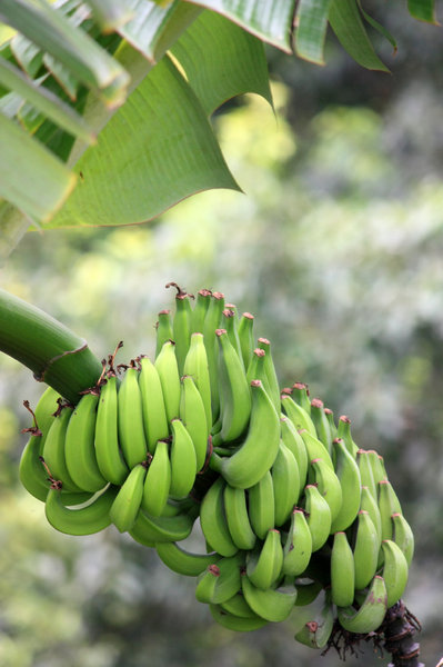bananas growing: green bananas on a banana palm