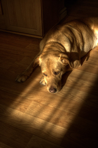 Sleeping dog in the evening su: As the title says! A labrador enjoying the warmth of the evening setting sunshine coming through the window.