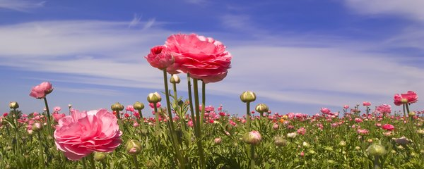 One Above The Others: Peonies at a flower field in Southern California