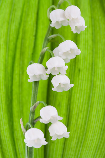 Lily-of-the-Valley: Lily-of-the-Valley macro.