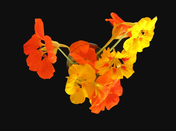 Nasturtiums 6: Arrangement of nasturtiums on a black background.