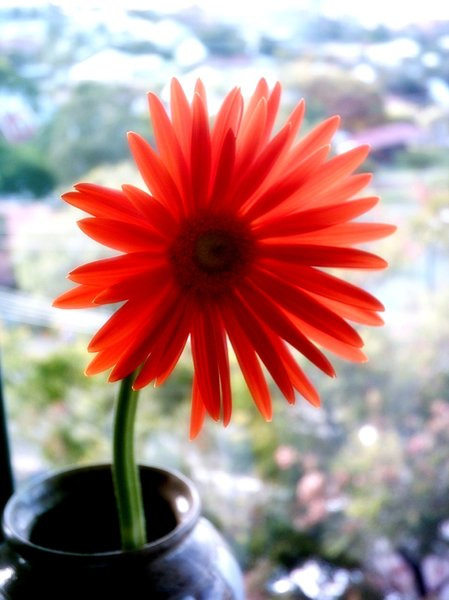 delicate 3: Gerbera on windowsill, enhanced.