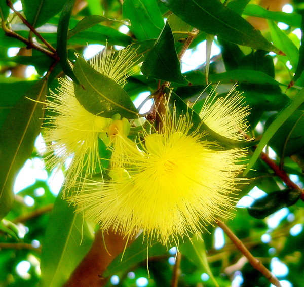 Gum Blossom Yellow Eucalyptus Tree