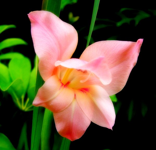 Gladiolus in Garden: A beautiful flower in my garden.