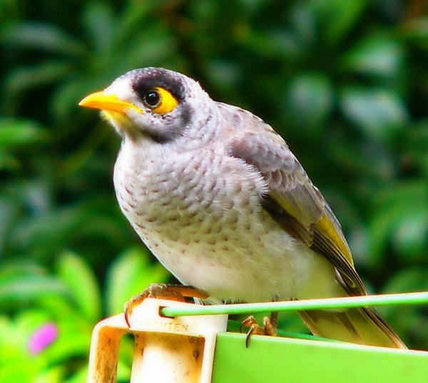 Noisy Miner: A native Australian bird - often confused with the introduced Indian Mynah.