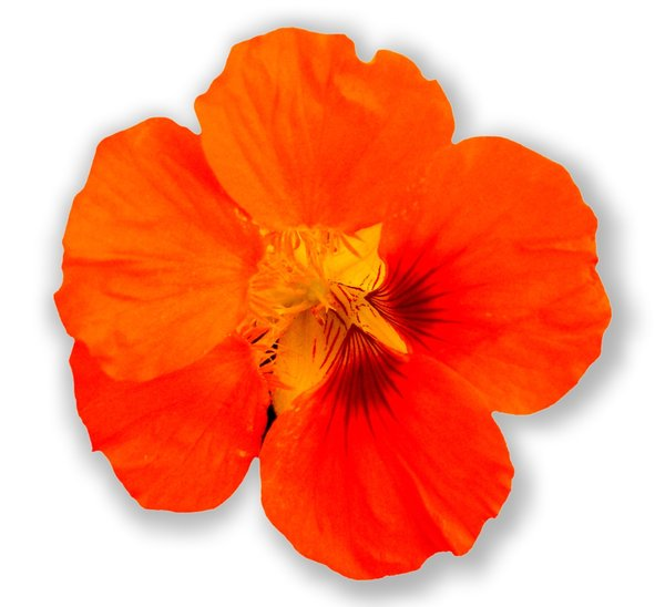 Nasturtium on White: Cut out of a nasturtium on a white background. You may prefer:  http://www.rgbstock.com/photo/2dyVOrw/Floral+Border+35  or:  http://www.rgbstock.com/photo/n6cBwbM/Nasturtium+Abstract+6