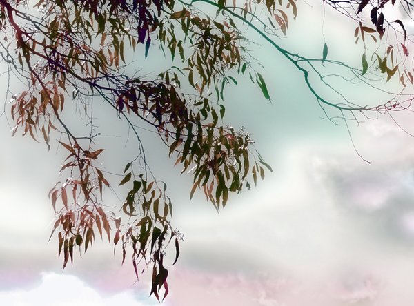 Abstract Magical Skies: Eucalyptus leaves against a magically coloured sky.