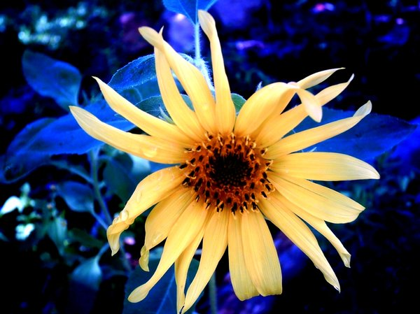 Sunflower on Blue: A small sunflower after rain. You may prefer:  http://www.rgbstock.com/photo/2dyVM6I/Mexican+Sunflower