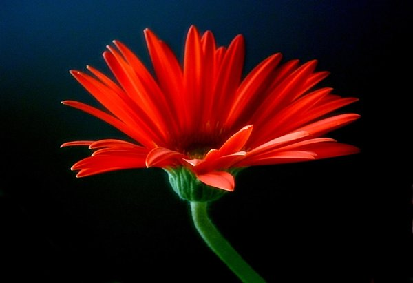 Red Gerbera: Dramatic image of a red gerbera, taken with an old camera. Removing the noise has removed a lot of detail, unfortunately.