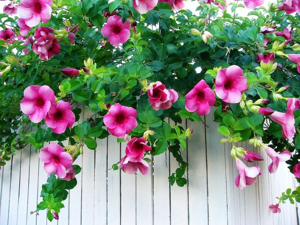 Allamanda - Spring Blooms: Purple allamanda flowers draped over a white fence. You may prefer:  http://www.rgbstock.com/photo/2dyVgMF/Yellow+Flower  or:  http://www.rgbstock.com/photo/2dyVjRb/Romance