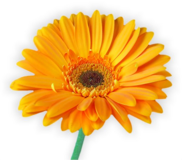 Gerbera Daisy Orange 3: Isolated orange gerbera on a white background. You may prefer:  http://www.rgbstock.com/photo/2dyVuFP/Gerbera+Half+and+Half  or:  http://www.rgbstock.com/photo/dKTnnS/Gerbera+Daisy+Quarter+-+Orange